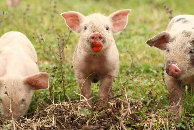 pig-with-lipstick-help-desk-fail.jpg